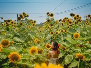 信芯園元朗向日葵花海 San Tin farm Hong Kong sunflower field