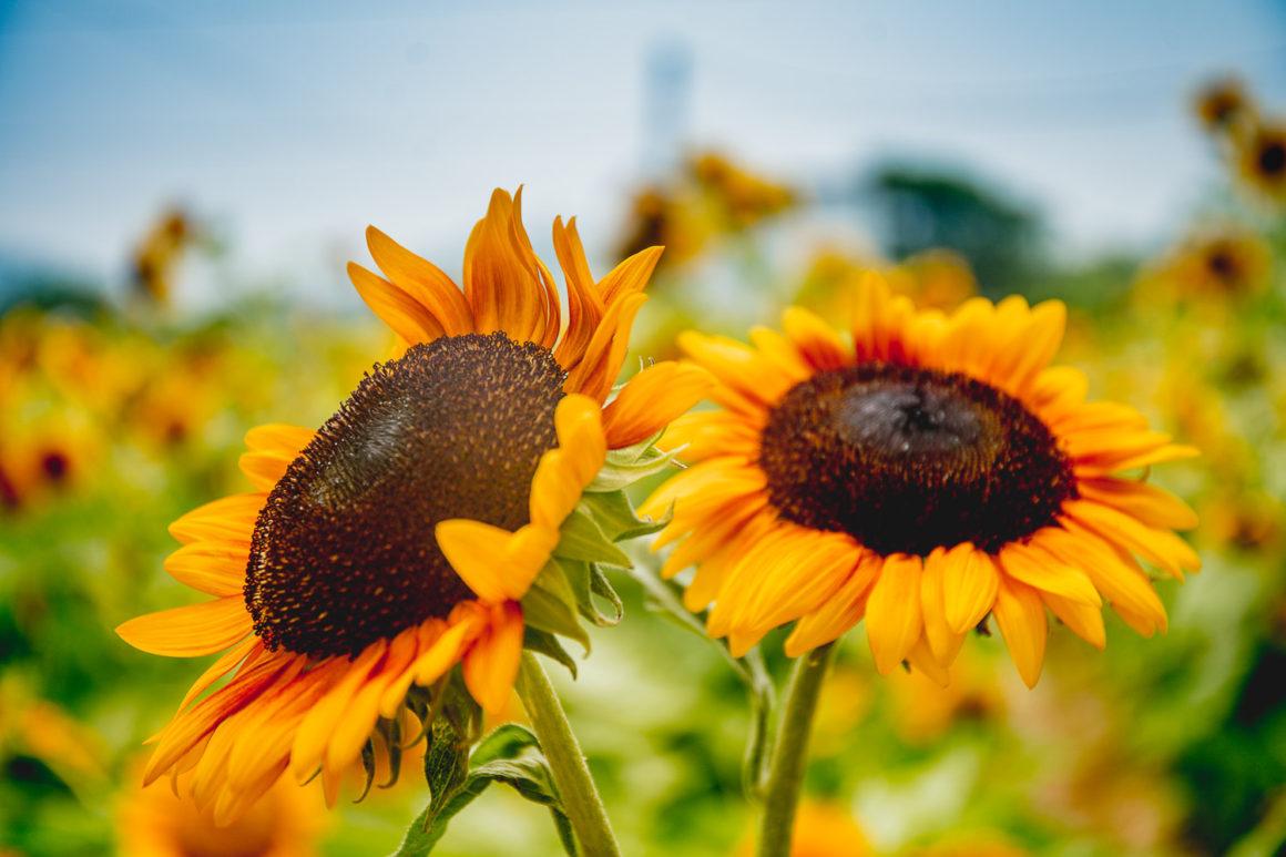 信芯園元朗向日葵花海 San Tin farm Hong Kong sunflower field