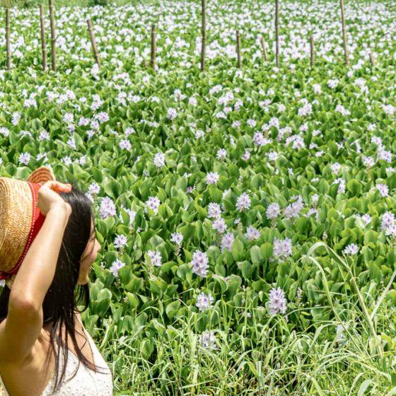 香港 鳳眼藍花海綻放 串串紫色花海 元朗盛屋村